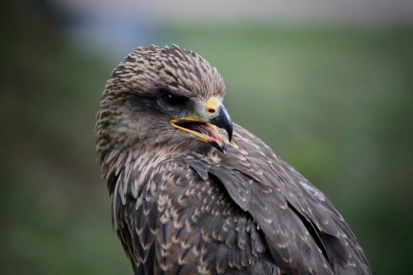 falcon, bird, portrait-6315207.jpg